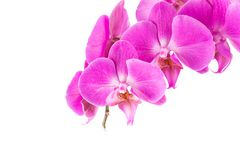 Orchid  pink  flower Royalty Free Stock Photography