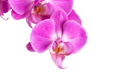 Orchid  pink  flower Stock Photos
