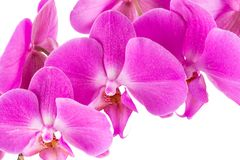 Orchid  pink  flower Royalty Free Stock Image