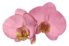 Orchid  pink flower  isolated on white background with clipping path. Closeup. Pink  phalaenopsis flower with  yellow-pink lip. Royalty Free Stock Photography