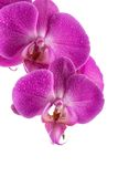 Orchid  pink flower with water drops Stock Photo