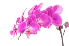Orchid  pink flower with water drops Stock Photos