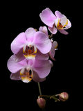 Orchid pink flowers Stock Images