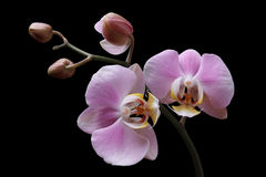 Orchid pink flowers Royalty Free Stock Photo