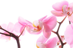 Orchid pink flowers Royalty Free Stock Image