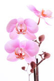 Orchid pink flowers Royalty Free Stock Images