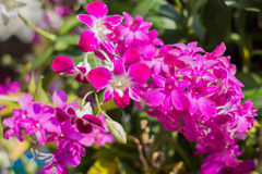 Orchid. Pink  flowers in the garden Stock Photos