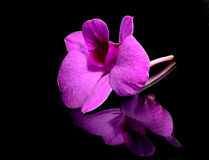 Orchid. Pink orchid isolated on black background Royalty Free Stock Photo