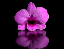 Orchid. Pink orchid isolated on black background Stock Photography