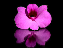 Orchid. Pink orchid isolated on black background Stock Images