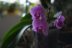 Orchid. Pink with nice background Royalty Free Stock Image