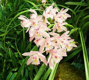 Orchid group pink flowers yellow spots in the middle of trees. Royalty Free Stock Photos