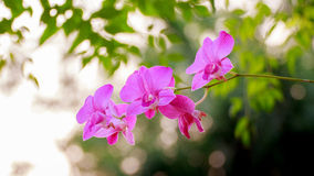 Orchid pink. Pink orchids in their natural fertility Royalty Free Stock Photos