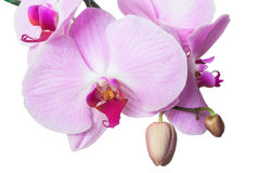 Orchid pink Royalty Free Stock Photos