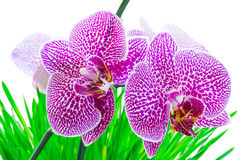 Orchid pink phalaenopsis on grass. Pink flowers orchid  with green leaves on a white background Royalty Free Stock Photo