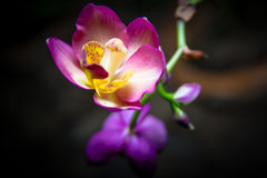 Orchid pink Stock Photos