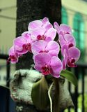 Orchid pink in a tree. The flower orchid is a symbol of elegance. With its elegant shape and exotic, embellish in a special way to the gardens royalty free stock photo