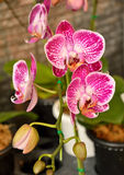 Orchid pink vanda Stock Photography