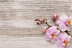 Orchid. Royalty Free Stock Image