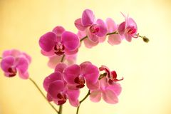 Orchid. Pink orchid on yellow background Royalty Free Stock Photography