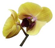 Orchid pink-yellow  flower. Isolated on white background with clipping path.  Closeup. The branch of orchids. Stock Photos