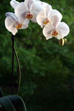 Orchid plant Stock Photography