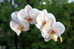 Orchid plant Royalty Free Stock Photos