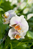 Orchid plant detail Stock Photography