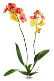 Orchid plant family of monocots Stock Image