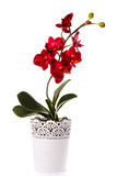 Orchid plant in a flowerpot isolated on white. Red flower orchid in a flowerpot isolated on white royalty free stock photos