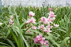 Orchid plant nursery Stock Image