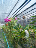 Orchid plant nursery Royalty Free Stock Images