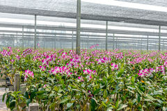 Orchid plant nursery Stock Photos