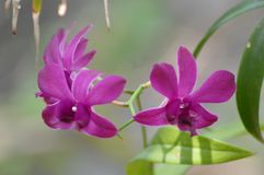 Orchid Plant. Ochid plant at a house in urban area of Sri Lanka Stock Photography