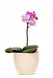 Orchid plant. Which is in flower and inside a light colored pot. it is on a white isolated background stock photos