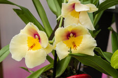 Orchid plant with yellow blooms Stock Images
