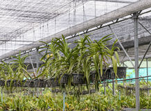 Orchid plantation Royalty Free Stock Image
