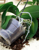 Orchid planting Stock Photo