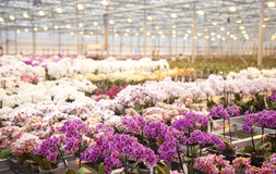 Orchid plants in huge glass house Stock Photo