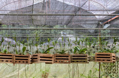 Orchid plants in a nursery Stock Image