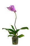 Orchid in a plastic pot Stock Image