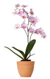 Orchid in a pot Royalty Free Stock Photo