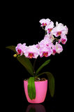 Orchid in pot Stock Image