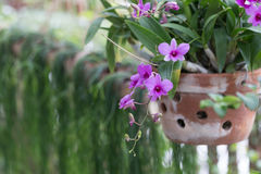 Orchid on pot Stock Image