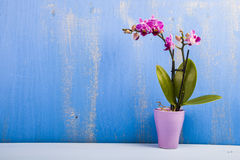 Orchid in a  pot on a wooden table. Royalty Free Stock Photo