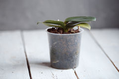 Orchid in a pot without flowers Royalty Free Stock Photography