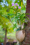 Orchid in a pot Royalty Free Stock Photography