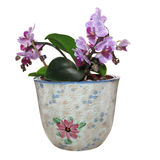 Orchid in a pot. Isolated with clipping path. Royalty Free Stock Photo