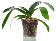 Orchid in a pot Royalty Free Stock Image