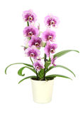 Orchid in a pot ( Phalaenopsis ) Stock Photo